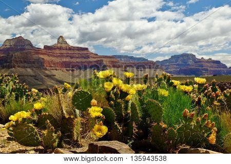The Grand Canyon and Flowering Cactus on a Sunny Day. Bright Angel Trail Grand Canyon National Park Arizona.