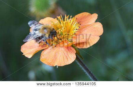 Bumble bee on orange flower close up image.