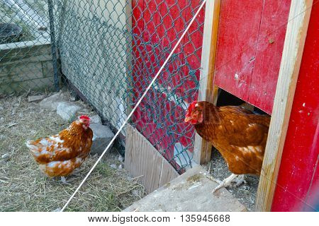 Chickens coming in and out of the chicken coop