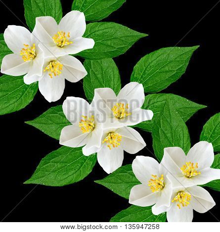 White jasmine flower. branch of jasmine flowers isolated on black background.