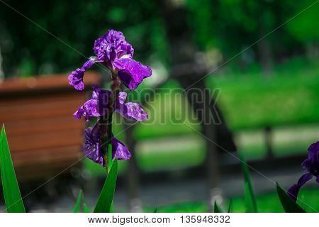 purple iris flower among green grass in the Park