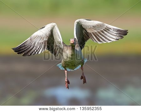 Greylag goose (Anser anser) in flight with vegetation in the background