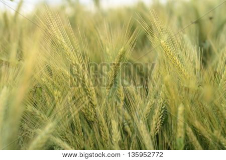 Barley in the field close up, agriculture