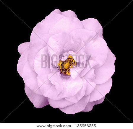 Natural Tender Pink Rose Flower Isolated On Black