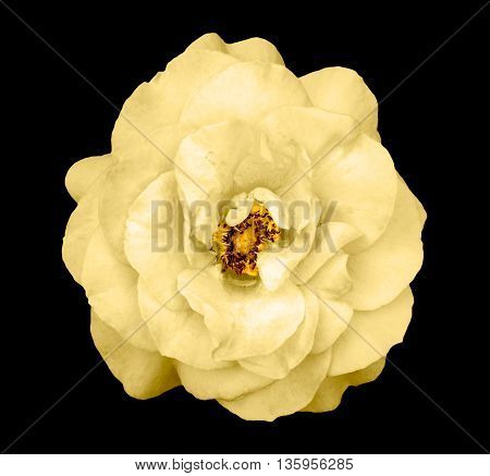 Natural Tender Yellow Rose Flower Isolated On Black