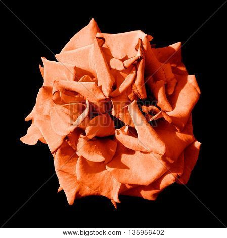Surreal Dark Exotic Orange Marigold Flower Macro Isolated On Black