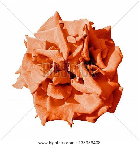Surreal Dark Exotic Orange Marigold Flower Macro Isolated On White