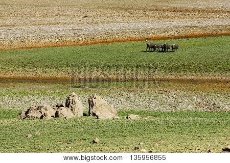 Four little black pigs grazing in the green fields
