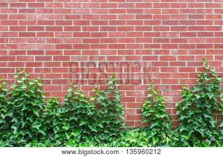 A red brick wall with English Ivy climbling up the bottom half.