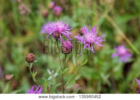 Violet flower of wild thistle (carduus) with blurred background
