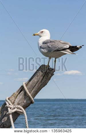 Seagull Perched on Driftwood on Georgian Bay