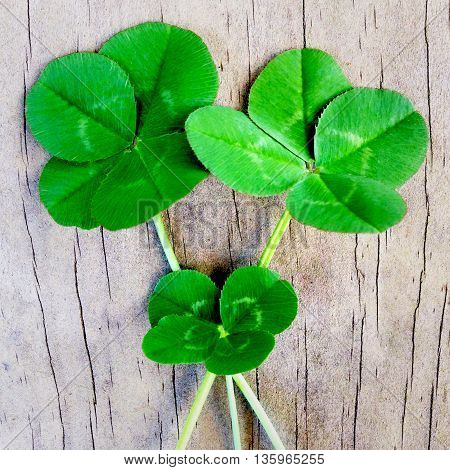 3 four leafed clovers on a wooden background for good luck. Filtered image.