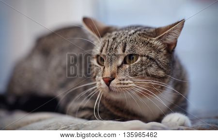 Angry striped cat of a gray color