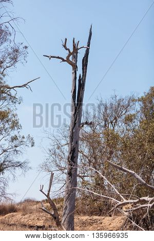 A tree burned in the center after been struck by lightning.