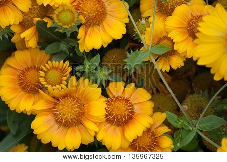 A bunch of yellowish orange flowers in a flowerbed