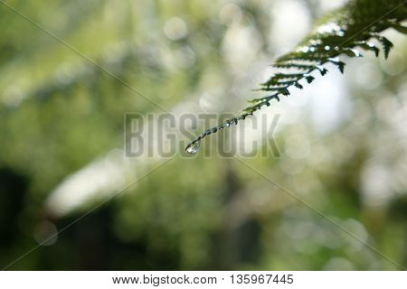 Single fern frond with rain water droplet at the end after a storm. Extremely shallow depth of field with the focus on the water droplet.