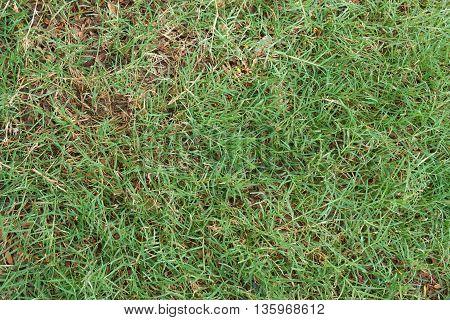 Natural grass growing among rotting leaves lying on the ground.