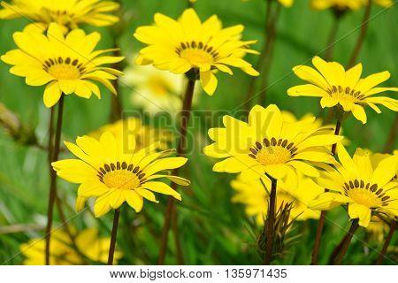Yellow flowers of Gazania splendens genus asteraceae close up.