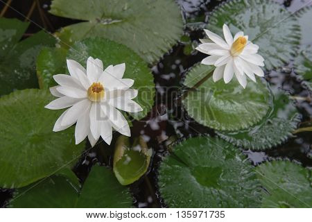Two beautiful white lotus in a pond. close-up  , background