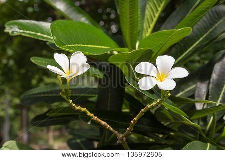 White Frangipani Flowers.