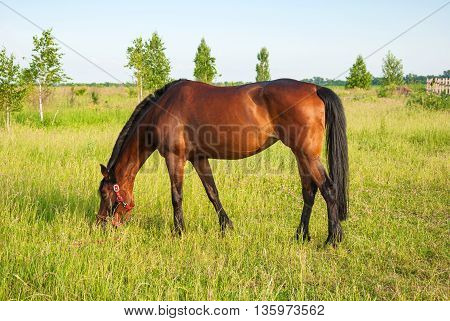 Horse grazing on the meadow and eating grass