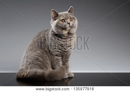 Furry Gray British Cat Sitting and Curious Looks on Dark Background, Side view