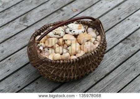 Wicker basket full of freshly picked wild mushrooms