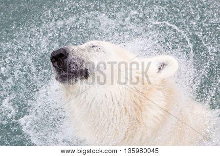 Close-up Of A Polarbear (icebear), Selective Focus On The Eye