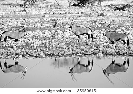 mono image of three gemsbok oryx nest to a waterhole in etosha national park with goof water reflection
