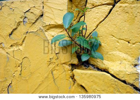 the yellow wall and small tree is growing
