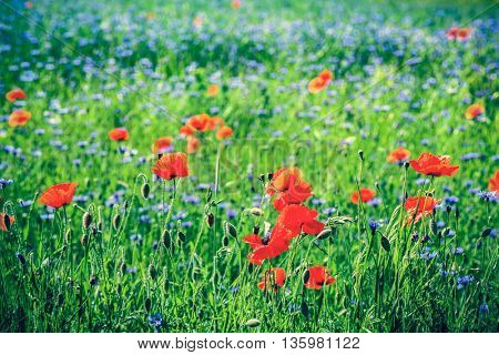 Poppy and blue centaury flowers field, summer countryside