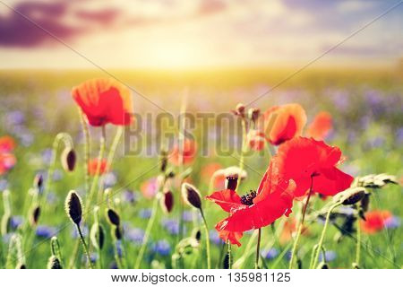 Poppy field, poppies flowers close-up. Summer countryside landscape at sunset