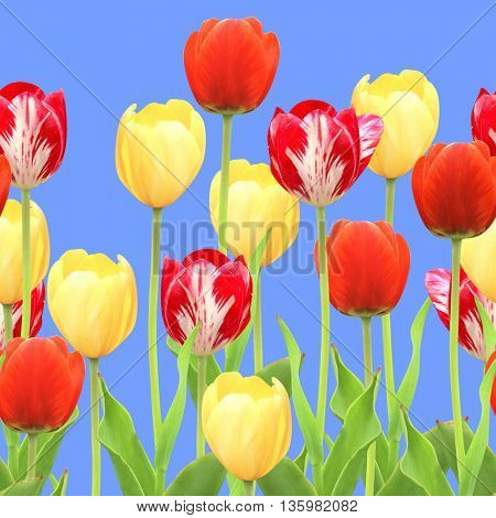 Seamless border with tulips. Isolated on blue background