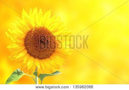 Bright sunflower on yellow background