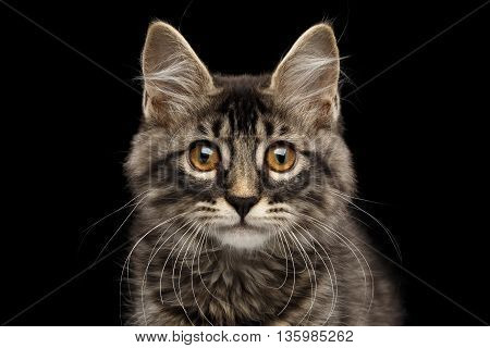 Close-up Portrait of Cute Kurilian Bobtail Kitty with Big Round eyes Curious Looking in Camera, Isolated Black Background, Front view, Funny Cat Face, Adorable Kitten whisker