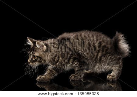 Hunting crouched Kurilian Bobtail Kitty, Isolated Black Background, Side view, Funny Tabby Cat without tail