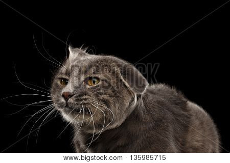 Closeup Portrait of Shake Head Cat with Yellow eyes Curious Looks, Isolated Black Background, Front view, Funny Cat Face, Cute Cat