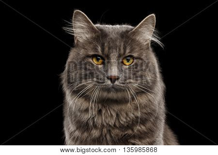 Closeup Portrait of Cute Kurilian Bobtail Cat with Yellow eyes Curious Looking in Camera, Isolated Black Background, Front view, Funny Cat Face, Adorable Cat