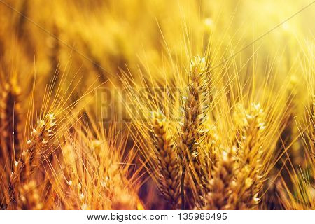 Beautiful golden wheat ears in cultivated field selective focus
