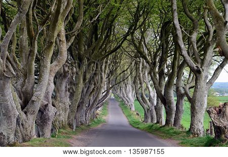 Dark Hedges Beech Tree Old Road Photography