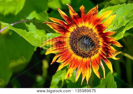 Closeup of a varicolored sunflower with a dark heart in its natural habitat. It is a sunny day in the summer season.