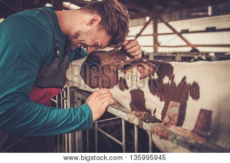 Young farmer and calf in the cowshed in dairy farm.