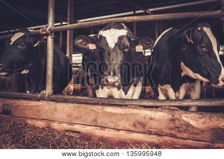 Cows in the cowshed in dairy farm.