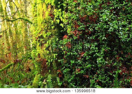 a picture of an exterior Pacific Northwest forest mossy maple an huckleberry tree in fall