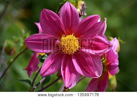 Closeup of a beautiful pink flower with yellow pistil