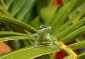 Cute Green Lizard (Anole Lizard) On Green Leaf poster