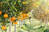 Ripe And Fresh Oranges Hanging On Branch, Orange Orchard poster