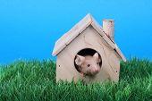 pic of fancy mouse  - little fancy mouse in a little wooden house on green grass - JPG