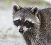 picture of rabies  - Raccoon portrait with green and brown grass background - JPG