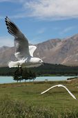 stock photo of mckenzie  - Seagull With Spread Open Wings in The Air - JPG
